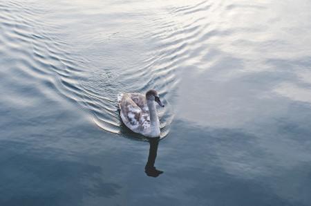 Swan_lake_swag